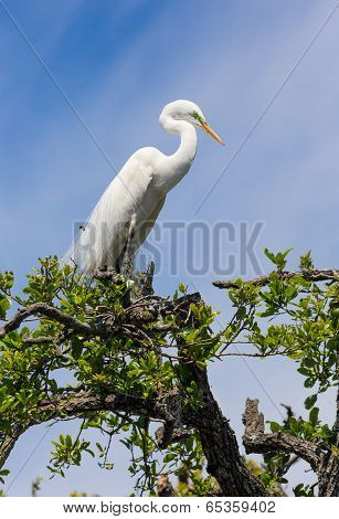 Great Egret Atop Tree