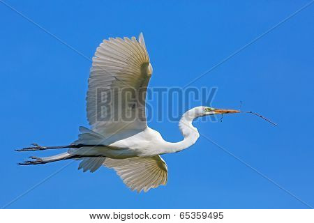Great Egret Flies With Twig