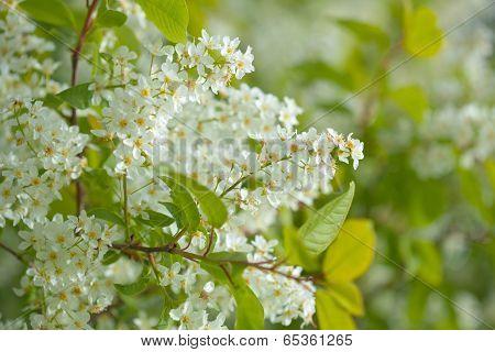 Bird Cherry Blooming