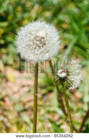 Two Seed Heads Of Dandelion Blowball