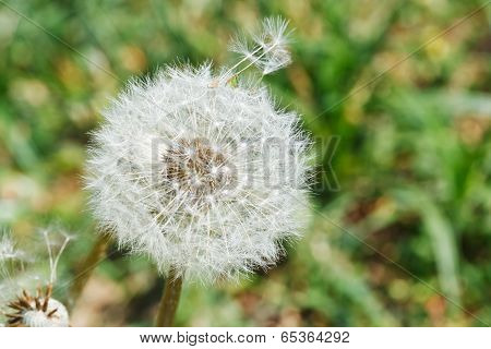Seed Head Of Dandelion Blowball On Lawn