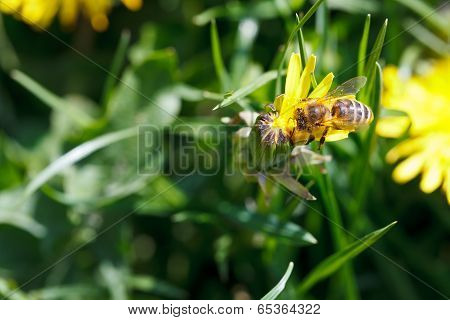 Bee Sips Nectar From Yellow Dandelion Flower