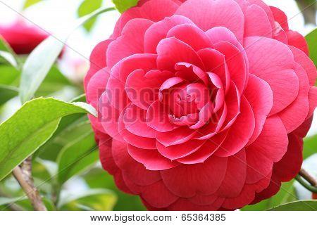 Camelia flower