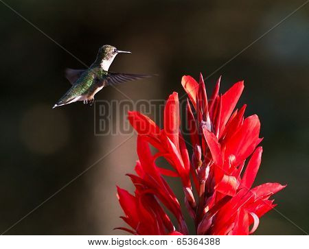 Hummingbird And Red Cana