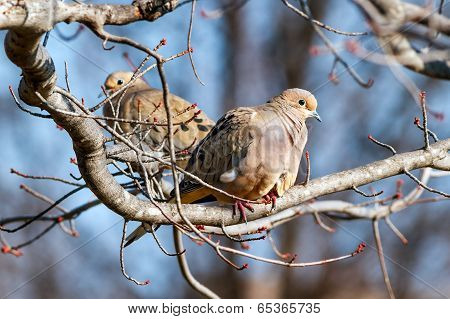 Mourning Doves Resting In Midwinter