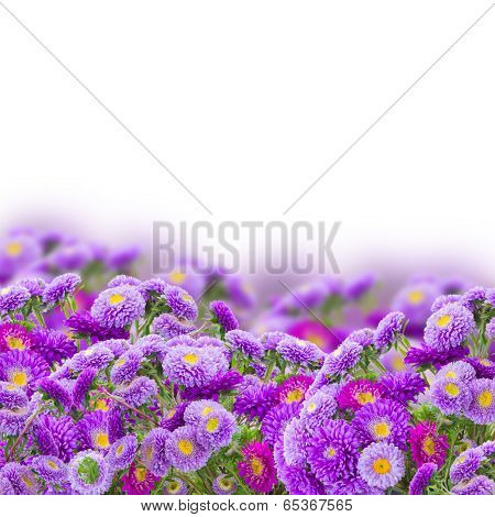 border  of violet aster flowers