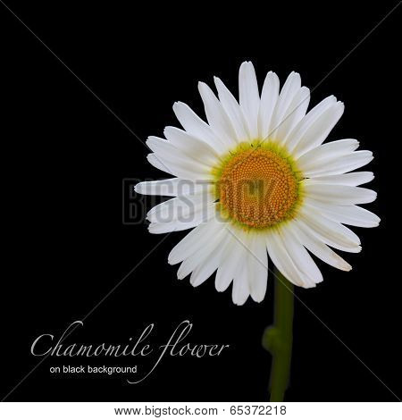 chamomile flower on black background