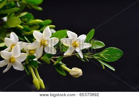 gardenia flower on black