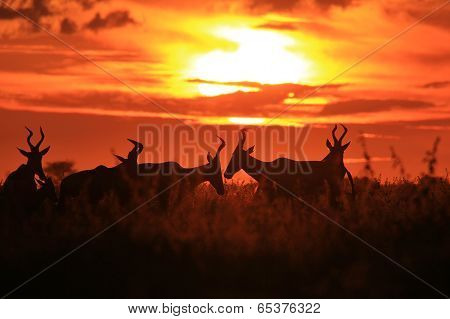 Red Hartebeest - Wildlife Background from Africa - Sunset Gold and Wonderful Beauty
