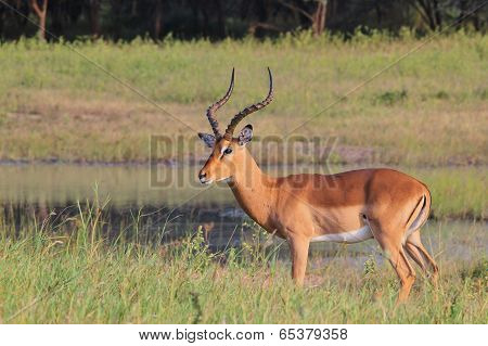 Impala - African Wildlife Background - Posture of Pride and Elegance