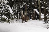 picture of mule deer  - Buck deer in a snowy - JPG