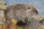 foto of beaver  - This european beaver - JPG