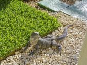 stock photo of gey  - Picture of a male iguana lizard from above - JPG