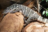stock photo of monitor lizard  - Monitor Lizard on the Rock - JPG