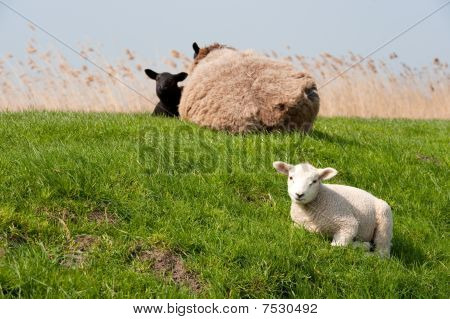 Sheep On The Dike