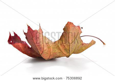 Dry Mapple Leaf