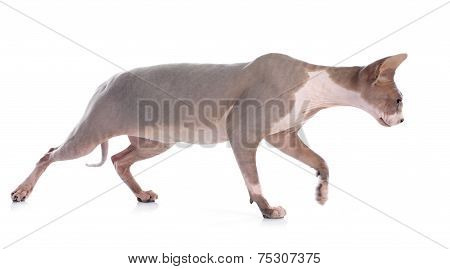 Sphynx Hairless Cat