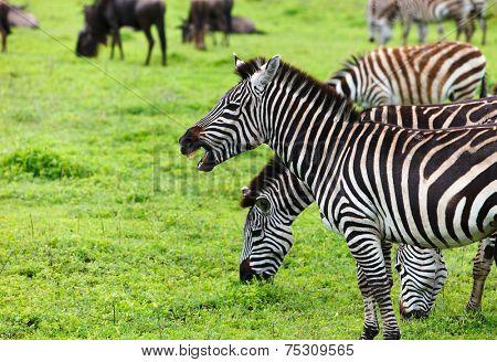 Zebras in Ngorongoro conservation area, Tanzania