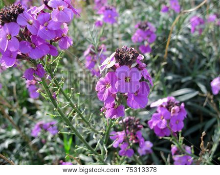 The Flower Erysimum