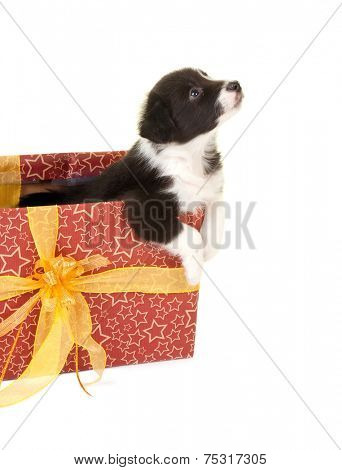 Little border collie puppy begging to get out of a christmas gift