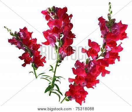 Red Snapdragon Flower