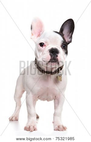little french bulldog puppy standing with ears up on white background, full body