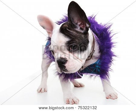 sad little french bulldog puppy wearing furry clothes looking at the camera on white background
