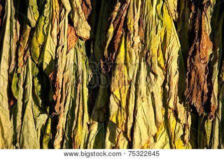 Tobacco Drying