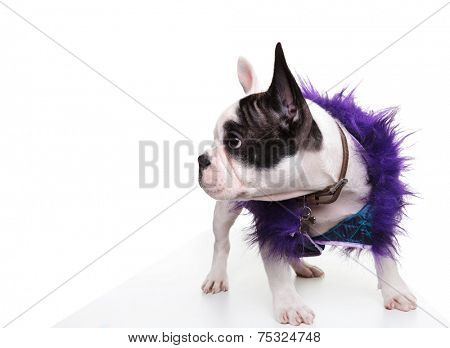dressed little french bulldog puppy looking to its side on white background. it is wearing a purple funny coat