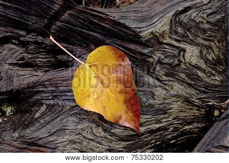 Yellow Leaf On Log.