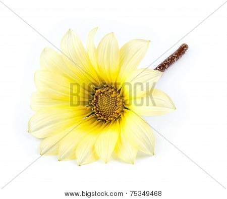 Macro Closeup Of Beautiful Yellow And White Asteraceae Daisy Flower Isolated On White