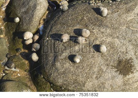 Littorina Saxatilis, Rough Periwinkle, Shells Clinging To Rock.