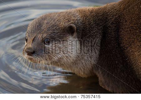 Otter Drinking