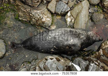 Dead Grey Seal.