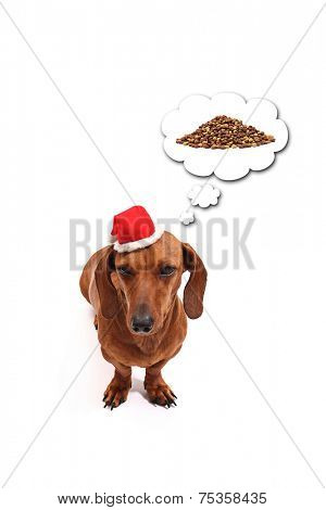 Dachshund on white background thinking in its Christmas gift