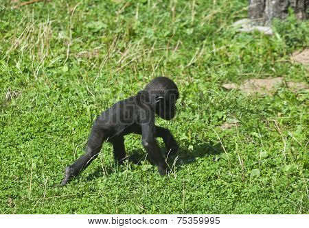 A full length portrait of a young gorilla male walking on the grass.