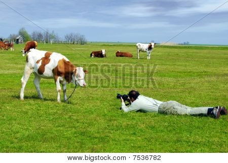 photograph and cow