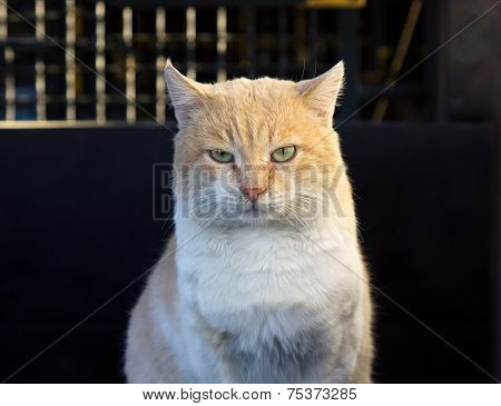Beautiful Red Cat  Looking At Camera Outdoors