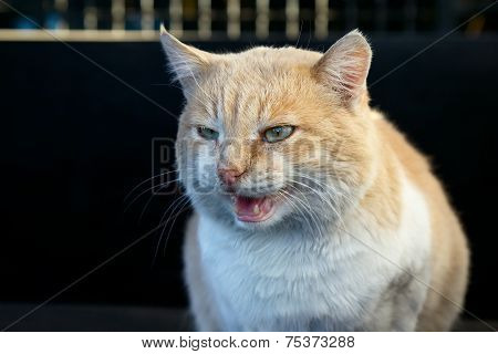 Portrait Of Beautiful Angry Ginger Cat