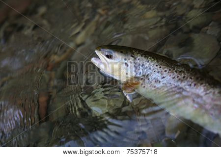 Closeup of fario trout being caught in river