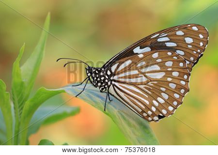 Blue Spotted Milkweed butterfly and green leaf