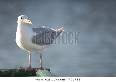 seagull on ferry looking right