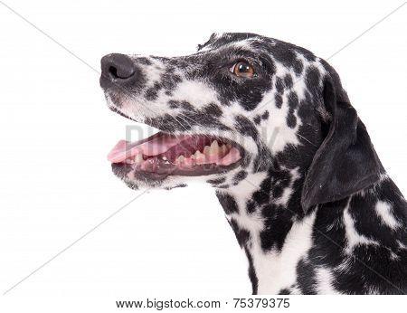 Beautiful Female Dalmatian Dog Isolated