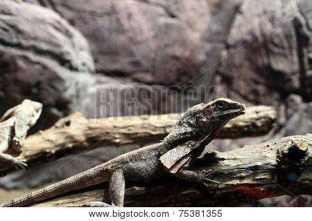 Frill-necked Lizard On A Tree