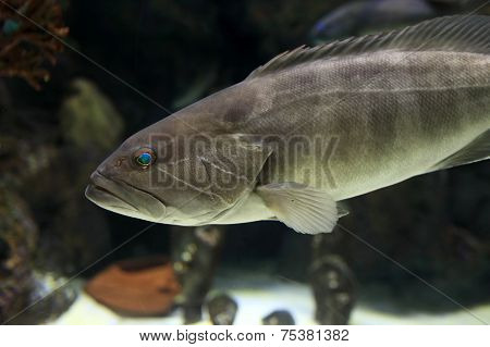 The Dusky Grouper Fish