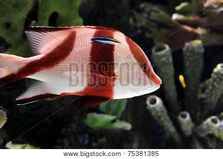 Red And White Tropical Striped Fish