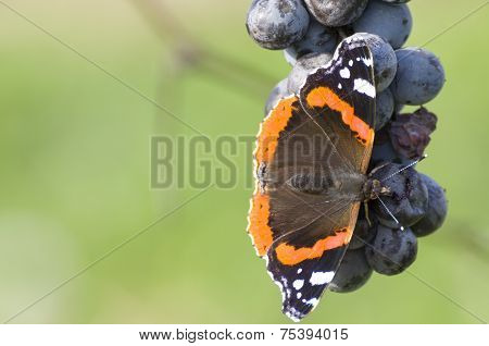Red Admiral Eating Grapes Closeup