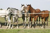image of thoroughbred  - Thoroughbred young horses standing at the corral gate - JPG