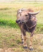stock photo of mud-hut  - Asian big buffalo in the field - JPG