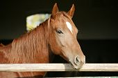 stock photo of foal  - Nice thoroughbred  foal in the stable door - JPG